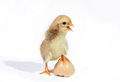 New born chicks and broken shell Stock Image
