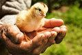 New born chiken in palms of an old man Royalty Free Stock Photo