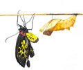 New born common birdwing butterfly emerge from cocoon in white background Royalty Free Stock Image