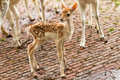 New born deer in a petting zoo in the netherlands in spring Stock Photos