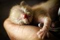 New born kitten lying in hand Royalty Free Stock Images