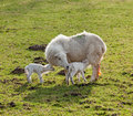 New born lamb twins with mother Stock Photography