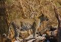 New born leopard cub Royalty Free Stock Photo