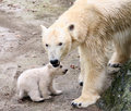 New born polar bears Royalty Free Stock Photography
