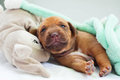 New born Rhodesian Ridgeback whelp Royalty Free Stock Photo