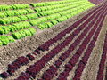 New Cabbage Field Royalty Free Stock Image
