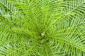 New calidonia fern frond of the Royalty Free Stock Photo