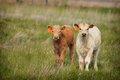 New calves two freshly tagged spring in green pasture Stock Image