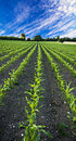 New corn field Royalty Free Stock Photography