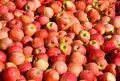 New crop of red Gala apples Stock Photography