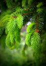 New fir branches Royalty Free Stock Photo