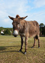 New Forest donkey in Lyndhurst, Hampshire Royalty Free Stock Photo