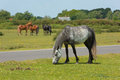 New Forest Hampshire England UK with wild ponies grazing Royalty Free Stock Photo