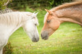 New forest ponies intimate moment between a mare and a stallion in the national park uk Stock Photo