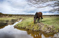 New forest pony a grazing on gorse at dockens water in the national park in hampshire Stock Photos