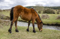 New forest pony a grazing near frogham in the Stock Photo