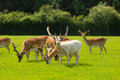 New Forest wild deer near Lyndhurst England uk Royalty Free Stock Photo