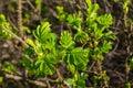 New fresh green leaves of a budding beach rose bush Royalty Free Stock Photo