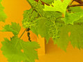 New Grapes Royalty Free Stock Photography