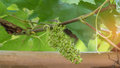 New grapes forming