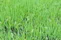 New green oats grass with water drops Royalty Free Stock Photography