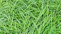 New green oats grass with water drops Royalty Free Stock Images