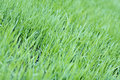 New green oats grass with water drops Royalty Free Stock Photos