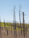 New growth after the fire tree seedlings start to grow in an area previously burned with dead trees snags Stock Photography