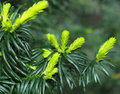 New Growth On Japanese Yew Or Taxis Cuspidata Royalty Free Stock Photo