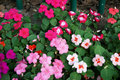New Guinea Impatiens flowers Royalty Free Stock Photo