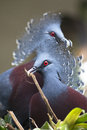 New guinea victoria crowned pigeon goura victoria Royalty Free Stock Photo