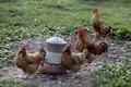 New hampshire red domestic breed of fowl warwickshire Stock Photography