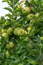 New harvest of healthy fruits, ripe sweet green apples growing on apple tree Royalty Free Stock Photo