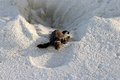New hatched sea Turtle crawling out of the nest Royalty Free Stock Photo