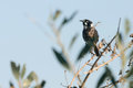 New Holland Honeyeater bird on perch Stock Photos