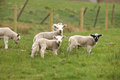 New Lambs Royalty Free Stock Image