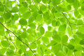 New leaves green leaf background japanese stewartia Royalty Free Stock Photo