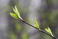 The new leaves on the sprig in the spring Royalty Free Stock Photo