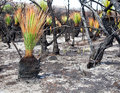 New life after fire regeneration at catherine hill bay october Stock Image