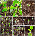 New life seedling growing on soil collage close up Stock Photos