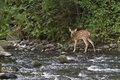 New neighbor fawn standing at the edge of a wooded creek Royalty Free Stock Photo