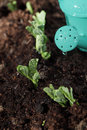 New plant growing from soil after watering Royalty Free Stock Photo