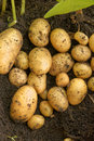 New potato crop of potatoes fresh out of the ground Stock Photography