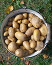New potatoes Stock Image