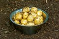 New potatoes harvested in stainless steel bowl in the vegetable garden Stock Images