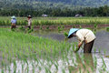 New rice workers with plants on the field in indonesia Stock Image