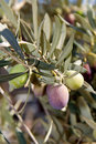 New ripening olives Royalty Free Stock Photo