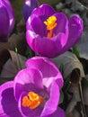 New Seasons Purple Spring Flow...