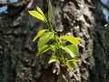 New spring growth persimmon limb growing from old tree Stock Images