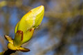 New spring leaves about to open in the northwest english sun Royalty Free Stock Photo